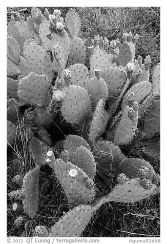 Blooming Prickly Pear cactus. Guadalupe Mountains National Park (black and white)