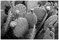 Close up of cactus and blooms. Guadalupe Mountains National Park ( black and white)