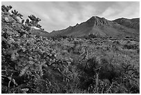 Cactus with blooms and Hunter Peak at sunrise. Guadalupe Mountains National Park, Texas, USA. (black and white)