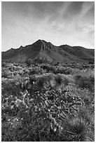 Sucullent and shrub desert below mountains at sunrise. Guadalupe Mountains National Park, Texas, USA. (black and white)