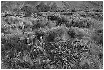 Blooming cactus and sucullent plants. Guadalupe Mountains National Park, Texas, USA. (black and white)