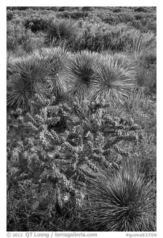 Cactus in bloom and Chihuahan desert plants. Guadalupe Mountains National Park (black and white)