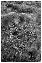 Cactus in bloom and Chihuahan desert plants. Guadalupe Mountains National Park, Texas, USA. (black and white)