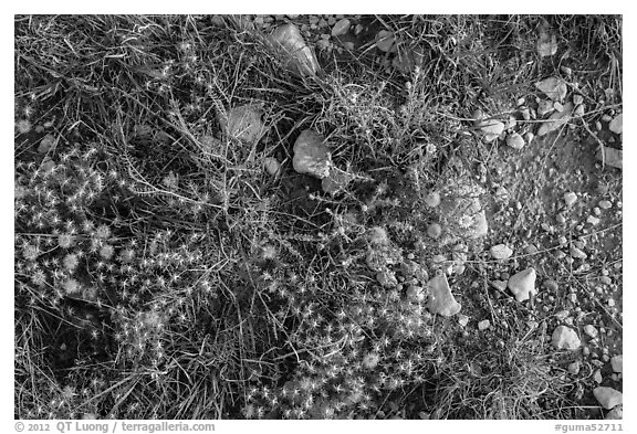 Close-up of desert floor with annual flowers. Guadalupe Mountains National Park (black and white)