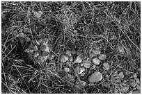 Close-up of desert floor with grasses and bloom. Guadalupe Mountains National Park, Texas, USA. (black and white)