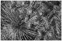 Close up of pink cactus blooms. Guadalupe Mountains National Park, Texas, USA. (black and white)