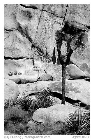 Joshua tree and rock with climber. Joshua Tree National Park, California, USA.