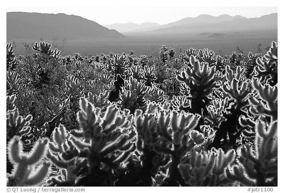 Cholla cactus garden, early morning. Joshua Tree National Park (black and white)