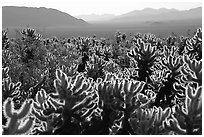 Cholla cactus garden, early morning. Joshua Tree National Park, California, USA. (black and white)