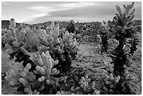 Cholla cactus garden. Joshua Tree National Park ( black and white)
