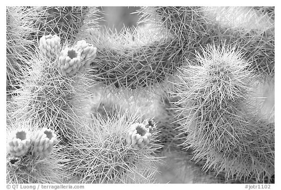 Detail of jumping cholla cactus. Joshua Tree National Park (black and white)