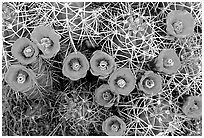 Claret Cup Cactus with flowers. Joshua Tree National Park, California, USA. (black and white)
