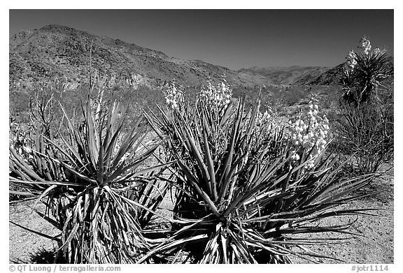Yuccas in bloom. Joshua Tree National Park (black and white)