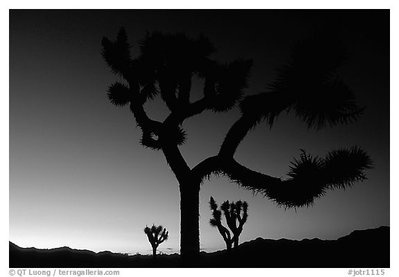 Joshua Trees silhouette at sunset. Joshua Tree National Park (black and white)