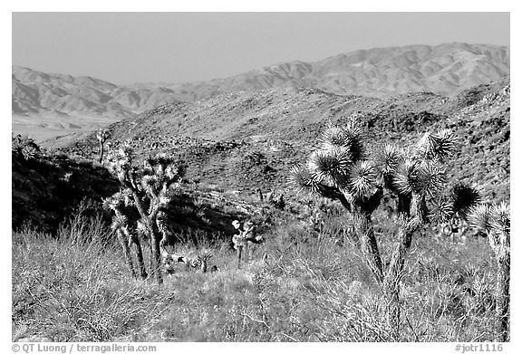 Joshua Trees and Pinto Mountains. Joshua Tree National Park (black and white)