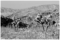 Joshua Trees and Pinto Mountains. Joshua Tree National Park, California, USA. (black and white)