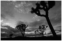 Joshua trees, sunset. Joshua Tree National Park, California, USA. (black and white)