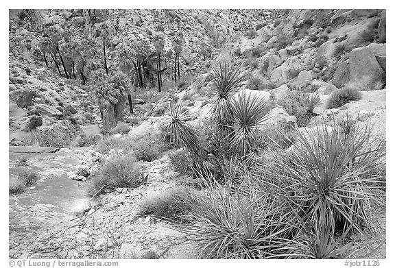 Lost Palm Oasis. Joshua Tree National Park (black and white)