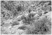 Lost Palm Oasis. Joshua Tree National Park, California, USA. (black and white)