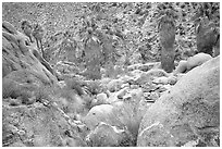 Lost Palm Oasis. Joshua Tree National Park ( black and white)