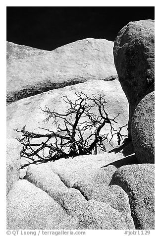 Bare bush and rocks in Hidden Valley. Joshua Tree National Park (black and white)