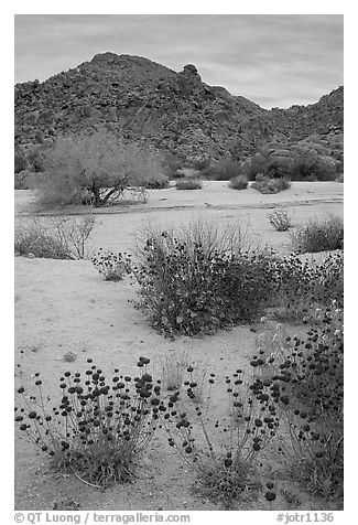 Desert wildflowers in bloom on sandy flat. Joshua Tree National Park (black and white)