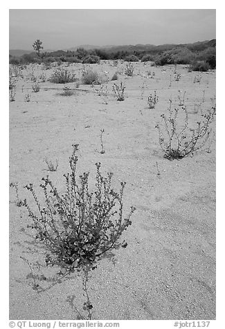 Wildflowers in bloom on sandy wash. Joshua Tree National Park (black and white)