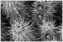 Engelmann Hedgehog cactus in bloom. Joshua Tree National Park, California, USA. (black and white)