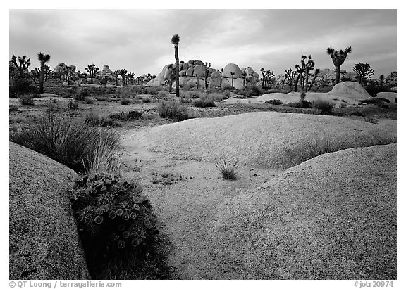 Claret Cup Cactus, rock slabs, and Joshua trees, sunset. Joshua Tree National Park (black and white)