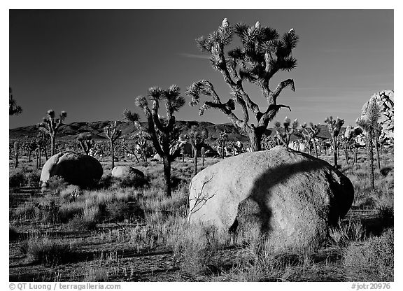 Boulders and Joshua Trees, early morning. Joshua Tree National Park (black and white)