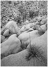 Sotol on boulder above Lost Palm Oasis. Joshua Tree National Park, California, USA. (black and white)