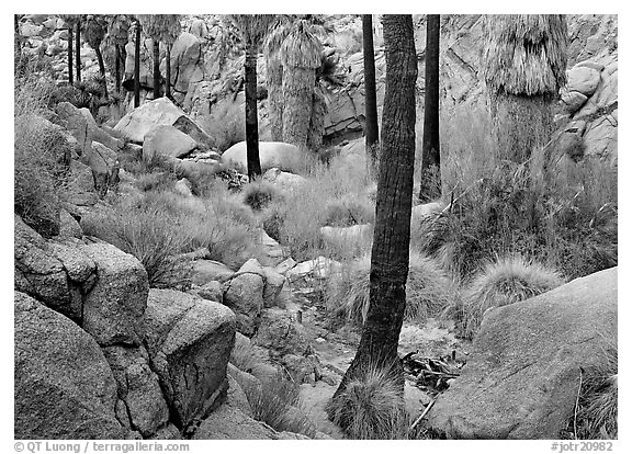 Lost Palm Oasis with California fan palm trees. Joshua Tree National Park (black and white)
