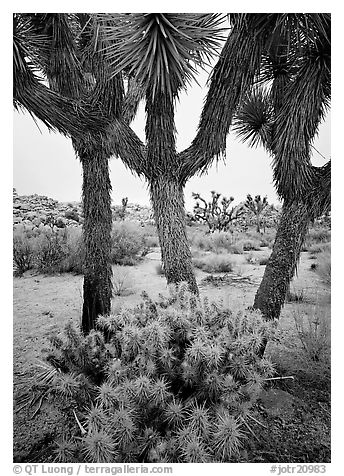 Cholla cactus at the base of Joshua Trees. Joshua Tree National Park (black and white)