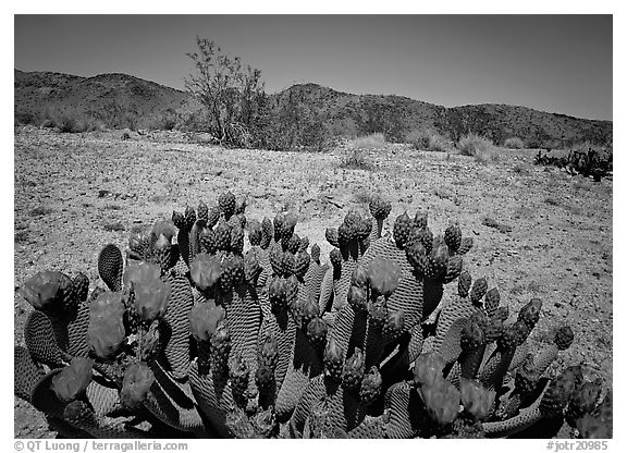 Beaver tail cactus with bright pink blooms. Joshua Tree  National Park (black and white)