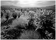 Forest of Cholla cactus. Joshua Tree National Park, California, USA. (black and white)