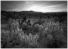 Cholla cactus garden, sunrise. Joshua Tree National Park, California, USA. (black and white)