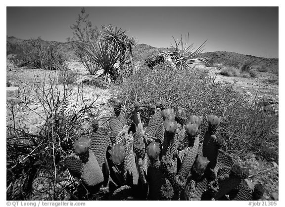 Beavertail Cactus in bloom. Joshua Tree National Park (black and white)