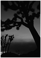 Joshua Trees silhouettes at dusk. Joshua Tree National Park, California, USA. (black and white)