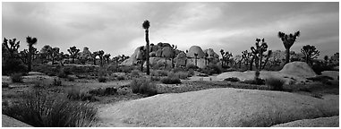 Granite slabs and boulders with Joshua Trees. Joshua Tree National Park (Panoramic black and white)