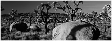 High Mojave desert scenery with boulders and Joshua Trees. Joshua Tree National Park (Panoramic black and white)
