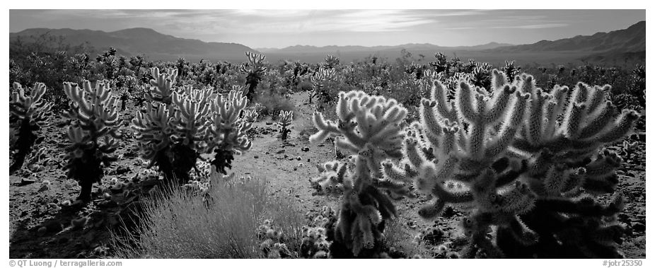 Desert flat with cholla cactus. Joshua Tree National Park (black and white)