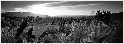 Desert scenery with cholla cacti at sunrise. Joshua Tree National Park (Panoramic black and white)