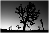 Joshua trees (Yucca brevifolia) at dawn. Joshua Tree National Park, California, USA. (black and white)