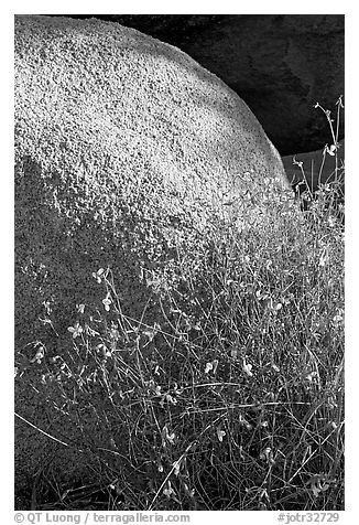 Wildflowers and boulder. Joshua Tree National Park (black and white)