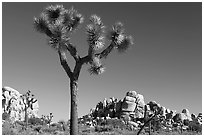 Joshua tree (Yucca brevifolia) and rockpiles. Joshua Tree National Park, California, USA. (black and white)