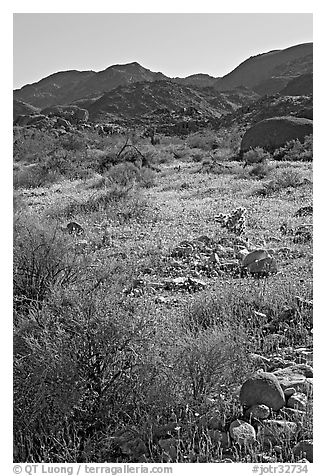 Coreopsis and cactus, and Queen Mountains near the North Entrance, afternoon. Joshua Tree National Park (black and white)