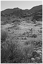 Coreopsis and cactus, and Queen Mountains near the North Entrance, afternoon. Joshua Tree National Park ( black and white)