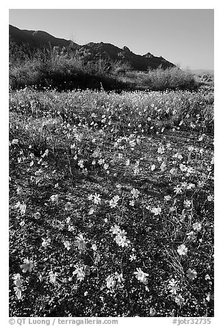 Coreopsis carpet near the North Entrance, afternoon. Joshua Tree National Park (black and white)