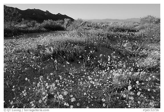 Carpet of yellow coreposis, late afternoon. Joshua Tree National Park (black and white)