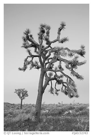Joshua trees (scientific name: Yucca brevifolia), dusk. Joshua Tree National Park (black and white)